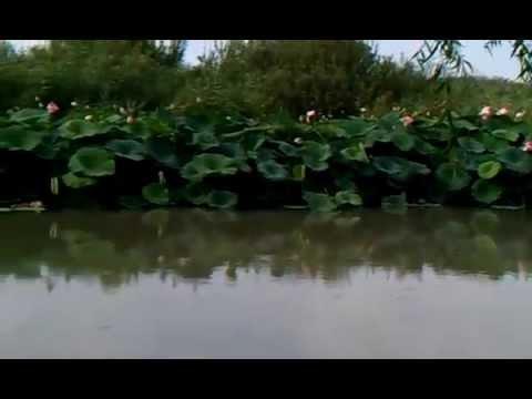 Fiori di loto nel Lago di Mantova -Italia (con base musicale)