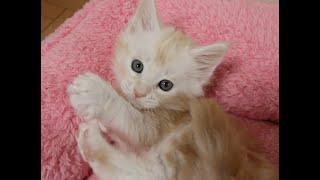 世界一可愛いメインクーンの子猫の響輝君! thumbnail