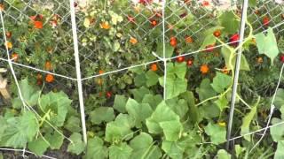Выращивание огурцов посеянных в конце июля для засолки :http://urozhai.com/