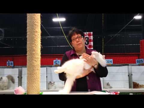 Blossom Ragdoll kitten at cat show
