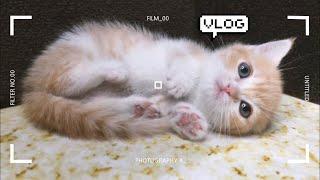 |Vlog|먼치킨 새끼고양이와 처음 가족이 된 날 [ENG]
