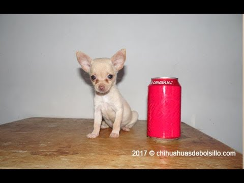 Miniature And Teacup Chihuahua For