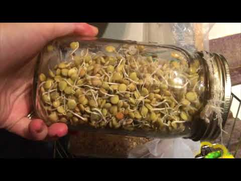 Sprouts 2 day Update; Lentils and Quinoa