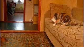 экзотические короткошерстные кошки купить Киев