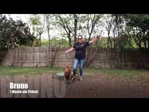 Pit Bull 'Bruno' | Puppy Transformation | San Antonio Dog Trainers
