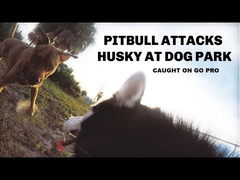 PITBULL ATTACKS MY HUSKY ~ NOT CLICKBAIT