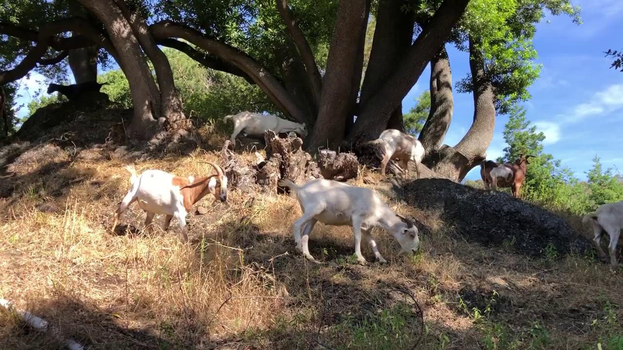 Goats Grazing at Berkeley Lab