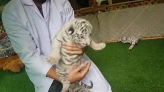 Rare White Tiger Cubs Are Shown to the Public| Tiger Kingdom, Chiang Mai