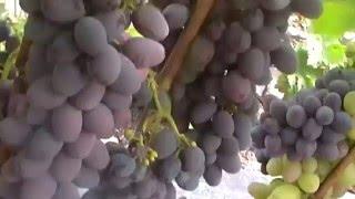 Сорт винограда кишмиш Юпитер(Виноград Нечмилова http://xn--b1afjmdel2e.com.ua/index.html., 2016-02-04T10:18:54.000Z)