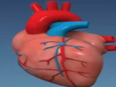 מצגת הסבר על הלב