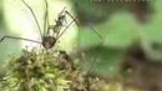 Army ants swarm a harvestman and try to eat it alive
