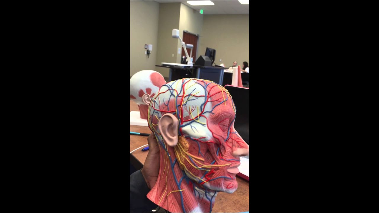 Facial nerves and blood vessels - YouTube