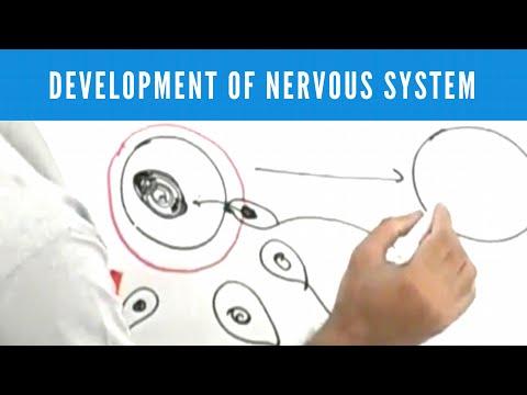 Development of Nervous System - Neuroanatomy