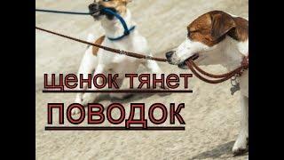 щенок тянет поводок -как отучить? как научить щенка ходить рядом с вами. Видео по дрессировке щенка
