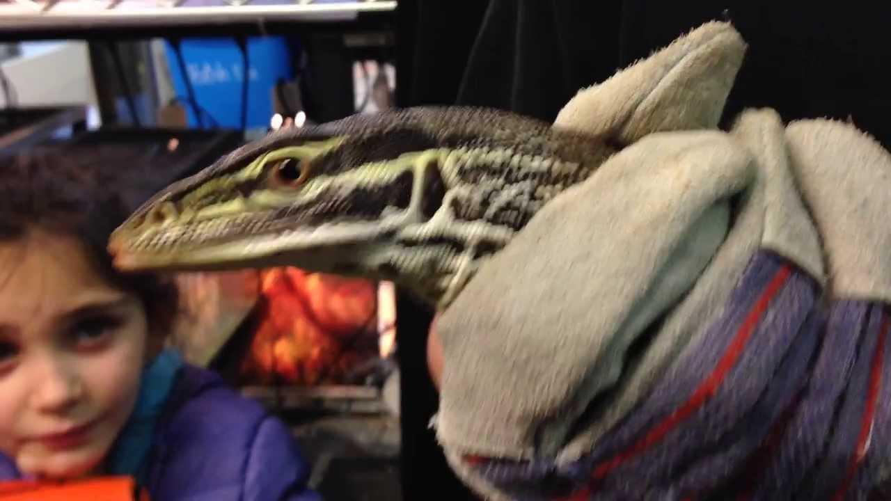 Monitor Lizards for Sale at Repxotica
