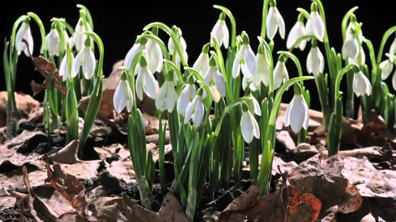 Early Spring Snowdrop Flower Time Laps Sir David Attenborough S Opinion Youtube