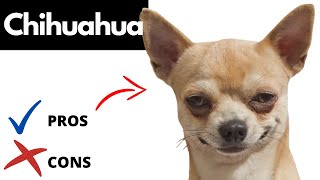 Chihuahua Pros And Cons | The Good AND The Bad!!