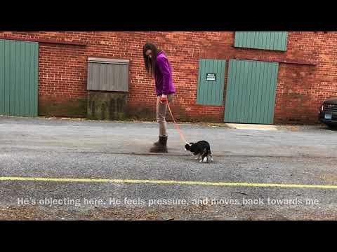 Bandit learns The Walk. Shy Chihuahua