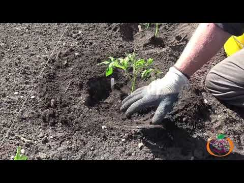 Comment Planter vos Plants de Tomates