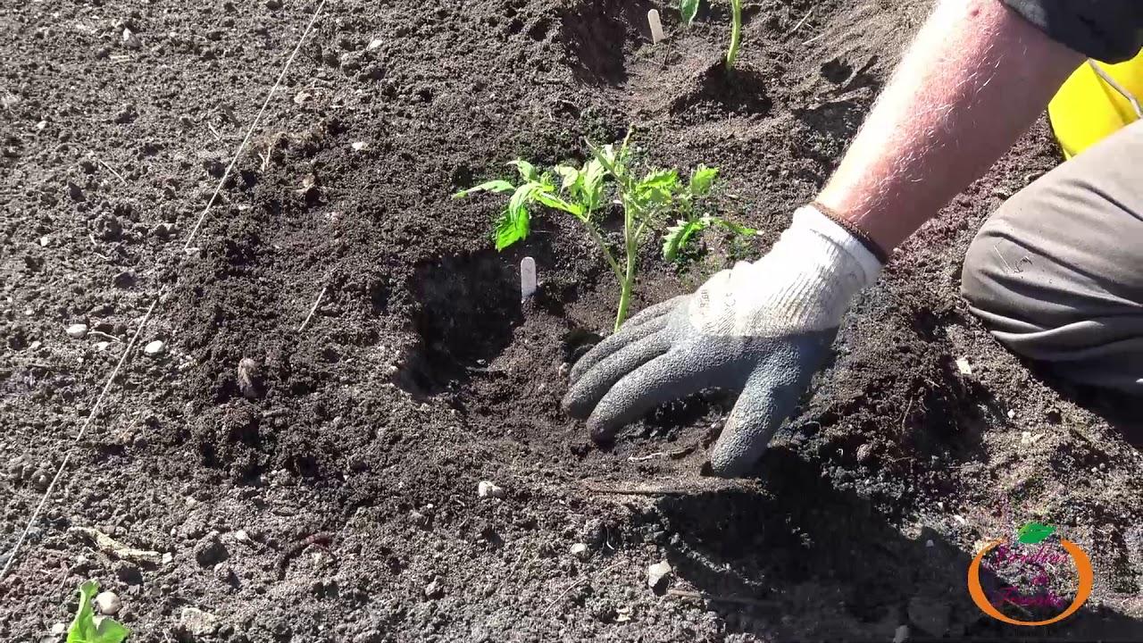 Comment Planter vos Plants de Tomates - YouTube