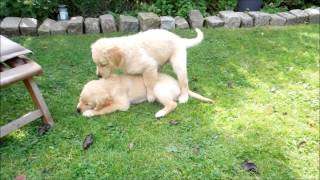 Geschwisterliebe ♥ Golden Retriever Welpen [full Hd] 9 Weeks ♥ Puppy Dog