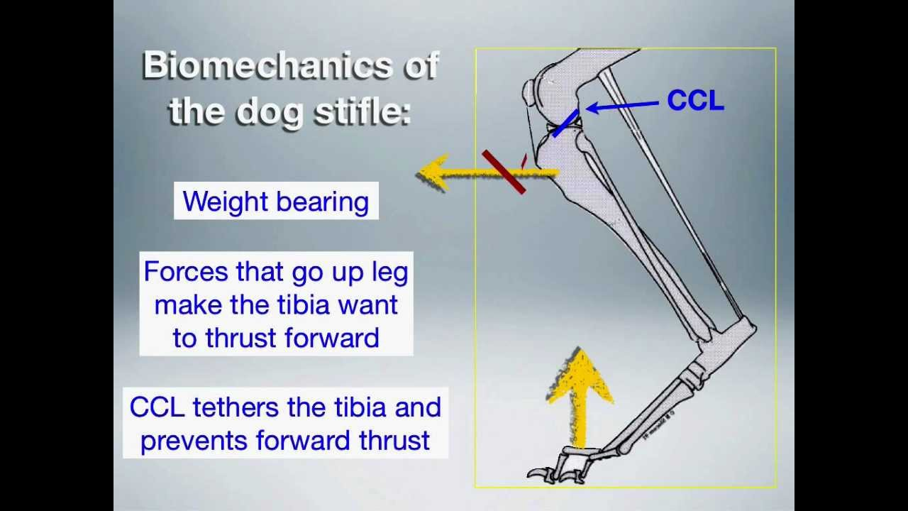 BIomechanics of the dog stifle - YouTube