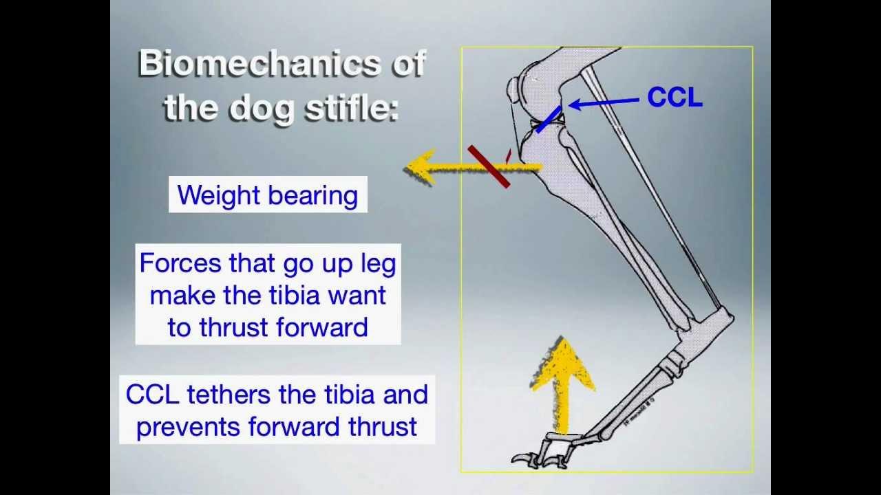 Biomechanics Of The Dog Stifle Youtube