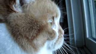 Scottish Fold Cat - Namiko chirping at birds