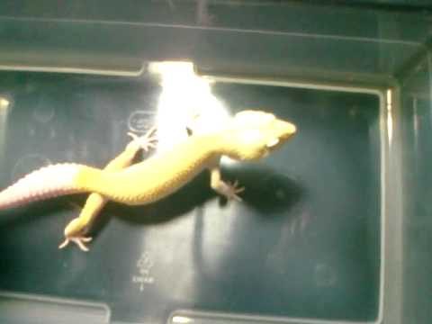 New Leopard Gecko Combos From Your Gecko Guy Com Youtube