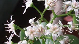 Толстянка или денежное дерево  Как заставить его цвести?
