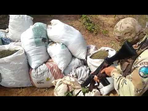POLICIAL: CIPE-CAATINGA APREENDE MAIS DE 170 KG DE MACONHA PRONTA PARA CONSUMO NA ZONA RURAL DE CURAÇÁ-BA