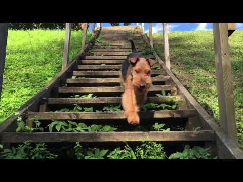 Welsh Terrier Tero's Summer tour 2016