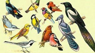 Птицы Для Самых Маленьких Учим Названия Птиц По Методу Домана