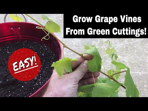How To Regrow Grape Vines From Fresh Cuttings!