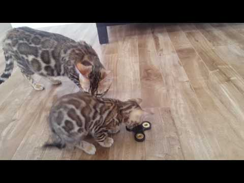 Hand spinner! Even bengal cats can play! SMART !