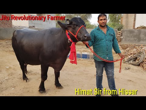👍FOR SALE: Price-70,000- 1Lakh Rs. Young Murrah Buffaloes @Hisar, Owner- Himat sir.👍