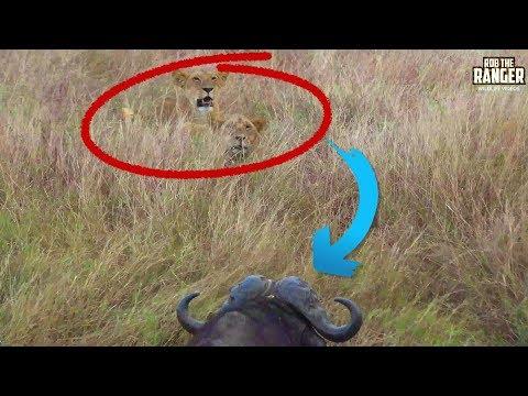 Lions Stalk Buffalo - Buffalo Win | Maasai Mara Safari