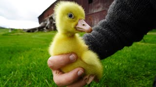 Here's How I Get My Ducks and Geese | The Ultimate Guide to Ducklings and Goslings