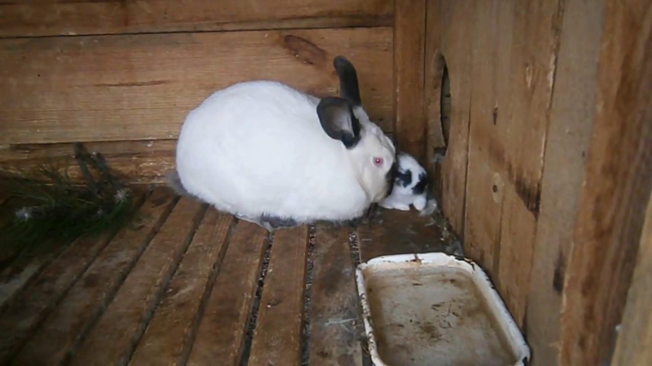 Подробная информация о породах сельскохозяйственных животных — породы кроликов мясного направления разводят в основном на мясо.