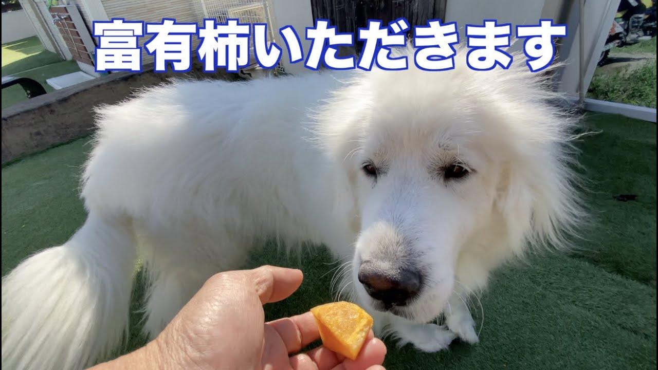 岐阜県産 富有柿を食べる? グレートピレニーズ