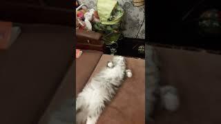 Очень спокойный кот. Дома хорошо. Тайсон.