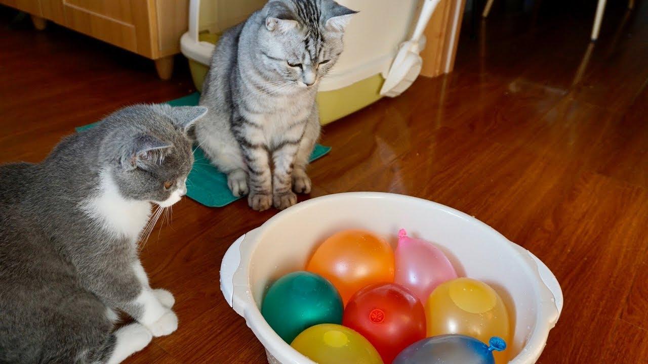当猫咪们看到一盆灌满水的气球后,场面一度失控,直呼再来一盆!