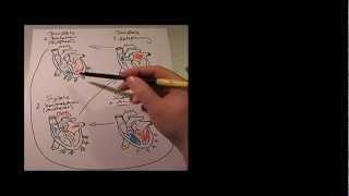 Das Herz - Systole/Diastole
