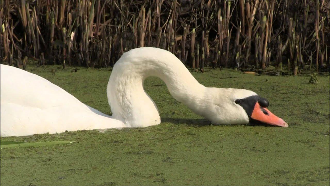Mute Swan eats ...