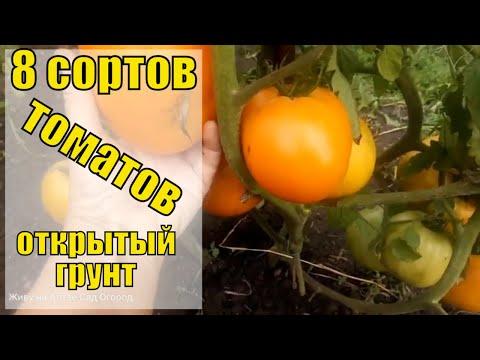 Обзор томатов в открытом грунте.Сибирские сорта.Томаты для лентяев.Урожай 2020.