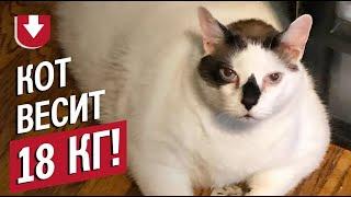 «Сверхтяжелый» Барсик: в Нью-Йорке ищут хозяев 18-килограммовому коту