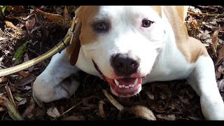 СОБАКА-УЛЫБАКА! :)  Самое позитивное видео! СТАФФ улыбается, самая добрая собака!