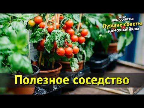 Вопрос: Какие овощи нельзя сажать рядом с руколой Почему?