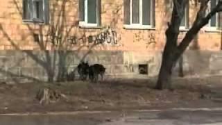 Во Владивостоке собаки терроризируют жилой район