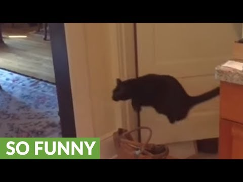 Montage of cat's obsession with jumping over things